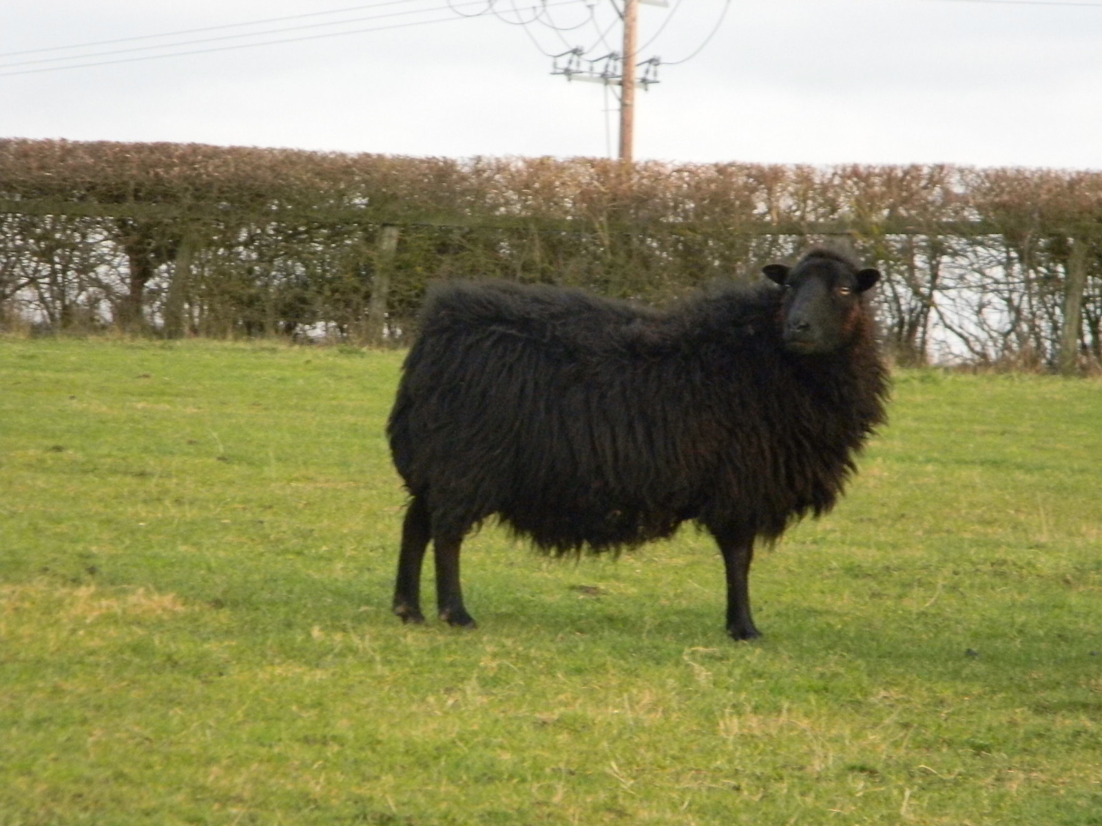 Black sheep Wakes Colne to Bures