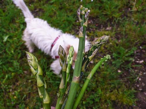 Dog and asparagus