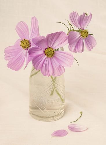 無料写真素材, 花・植物, 秋桜・コスモス, 花瓶