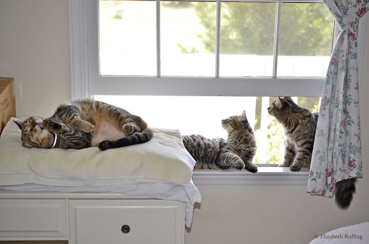 Tabby cats enjoying an open window by Elizabeth Ruffing