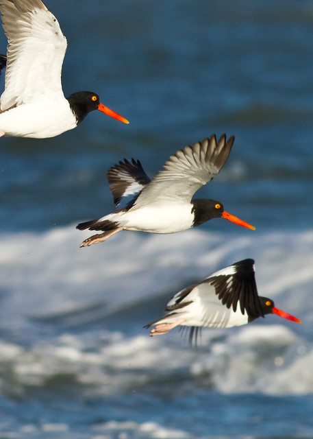 Header of American oystercatcher