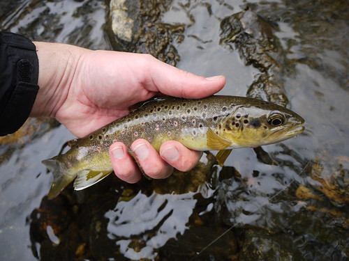 Wild Gunpowder Brown Trout in Baltimore County