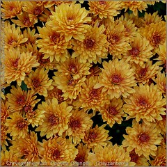 Chrysanthemum 'Conella Orange' - Chryzantema