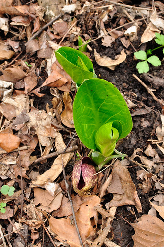 Skunk Cabbage