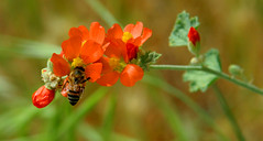 Honey Bee and Bloom