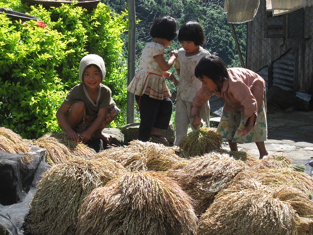 Small bundles of rice set in the sun to dry.