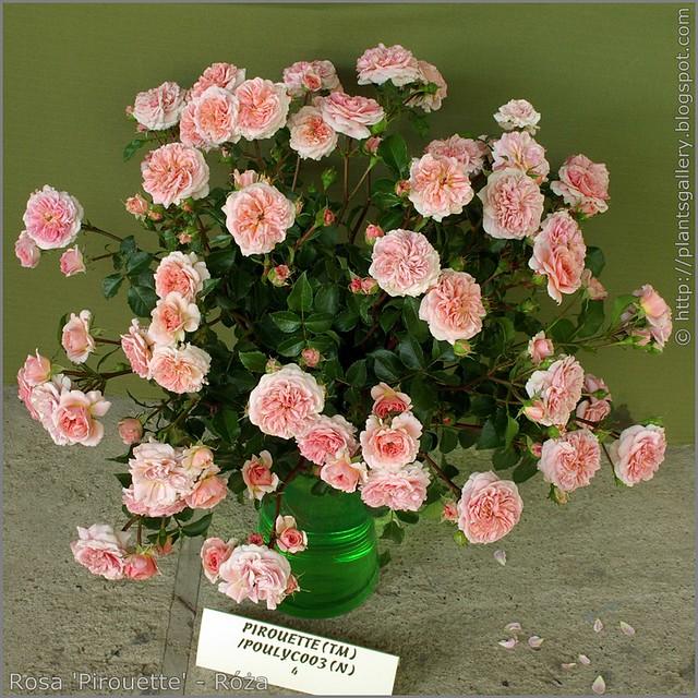 Rosa 'Pirouette' - Róża