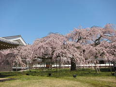 Cherry blossoms at Gaigo temple in Kyoto, Japan: 醍醐の桜、京都