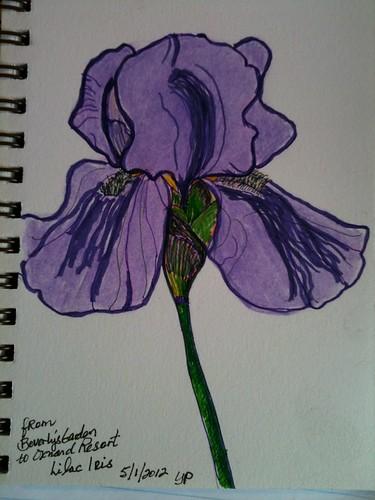 Lilac Iris