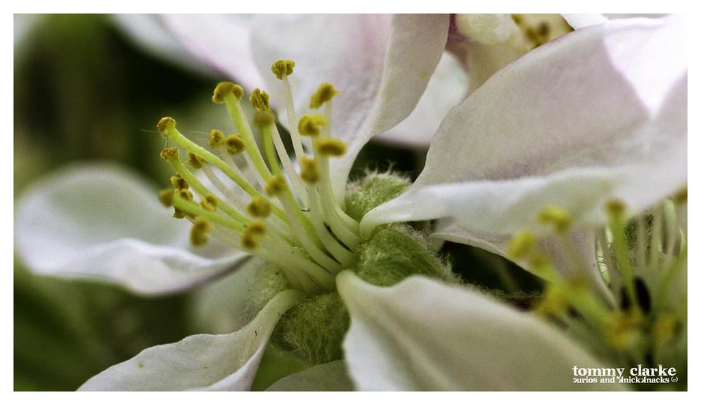 Apple blossom (close up)