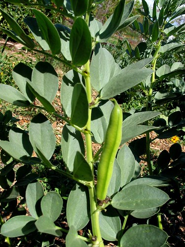 The Learning Garden - fava bean