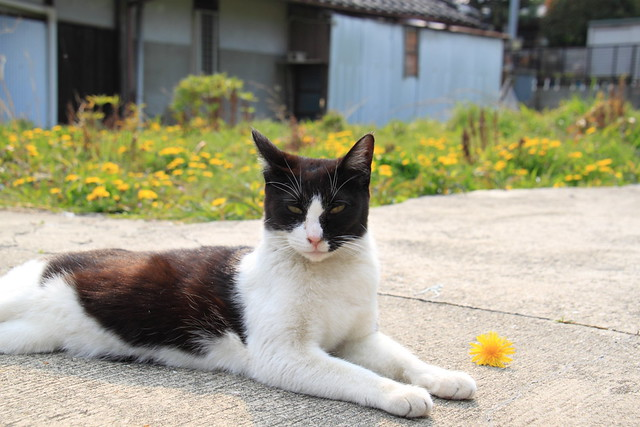 たんぽぽとねこ [Dandelion & Cat] 2