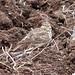 Small photo of Crested lark (Galerida cristata)