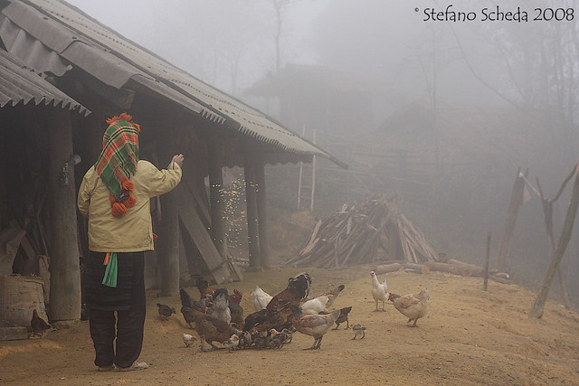 Feeding poultry in the hills mist - Muong Lay, Northern Vietnam