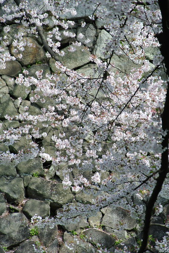 Cherry blossoms in Nagoya castle No.1.