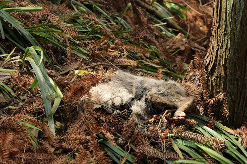 我們在巡山途中見到一隻已經死亡多時的野豬,神農耕者說,這隻野豬可能就是誤觸陷阱無法脫身。