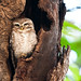 Spotted Owlet - Ranthambore National Park