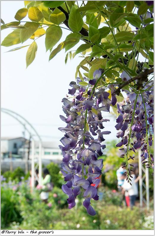 2014-04-05 紫藤花-2