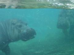 Hippopotamus Smile