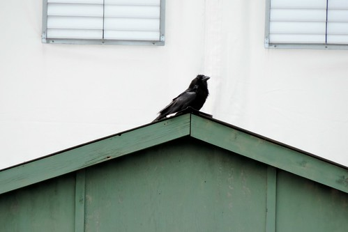 #51 Common Raven (Corvus corax)