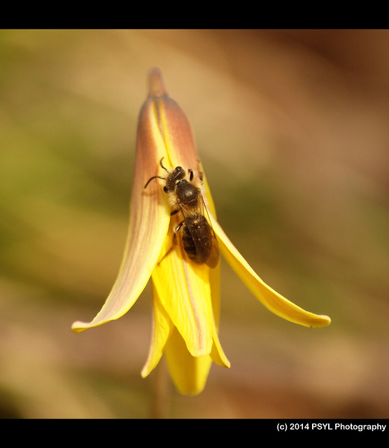 Trout-lily (Erythronium americanum) visited by Andrena bee