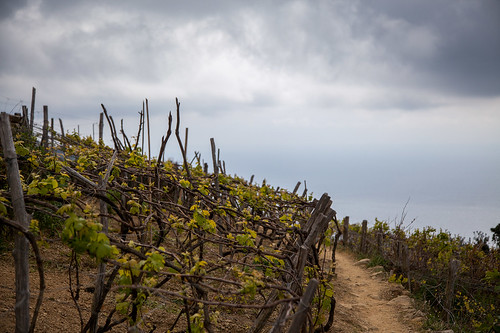 Vineyard on the hillside