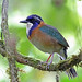Pitta-like Ground Roller, Mantadia, Madagascar by Terathopius