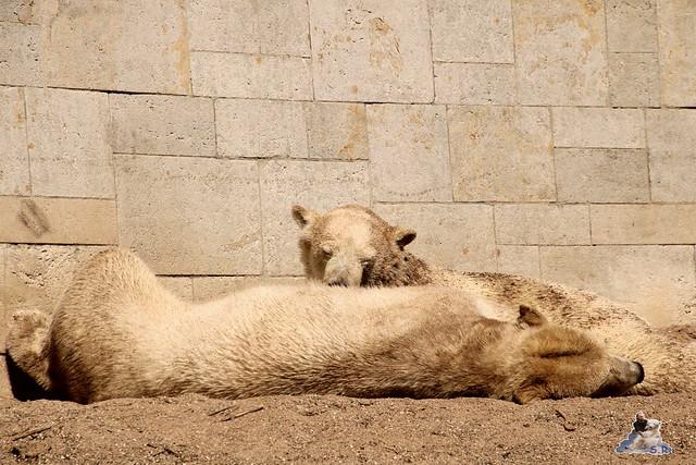 Eisbär Fiete im Zoo Rostock 07.05.2016  0303