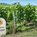 The Veuve Clicquot vineyards in Verzenay, Champagne ©Mustang Joe