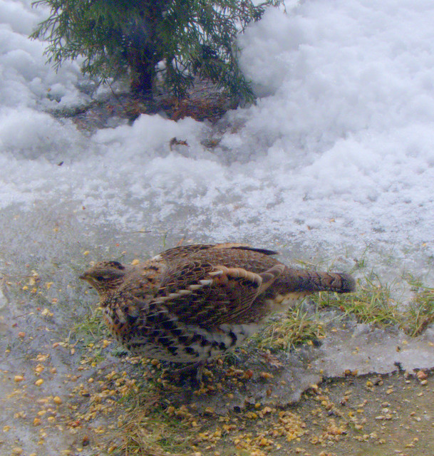 ruffed grouse or grey partridge?