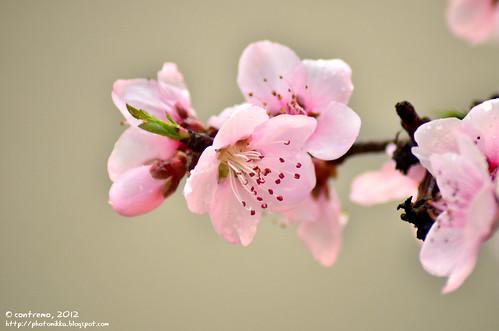 La flor del melocotonero