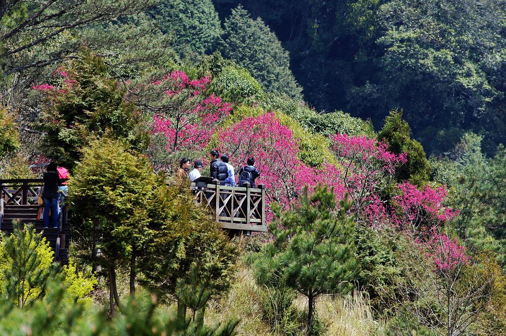 觀霧巨木步道-014