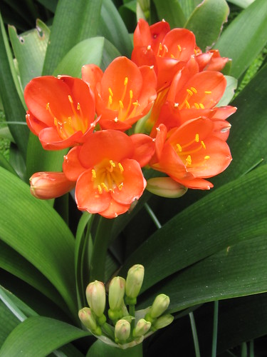 Orange Bush Lily