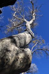 Montezuma Well Nat'l Monument: Arizona Sycamore