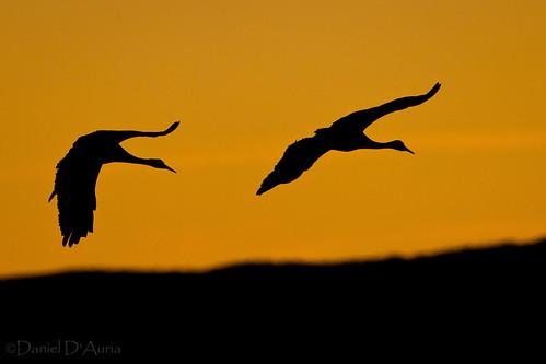 Evening Sandhill Silhouette (Grus canadensis) 0772-1