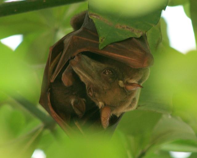 Hammer Headed Fruit Bat Hypsignathus Monstrosus With