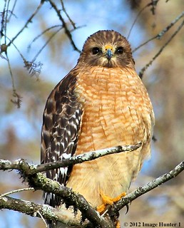 Red-shouldered Hawk - Lake Martin, Louisiana