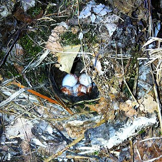 Bird's nest (with eggs) found in my breezeway.