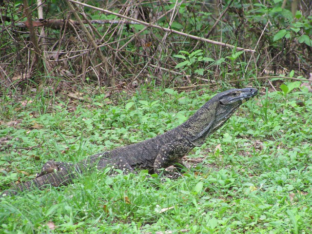 Goanna, Camp Mountain