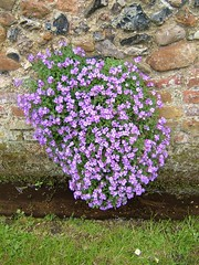 annual plant, shrub, flower, purple, plant, breckland thyme, lilac, herb, wildflower, flora,