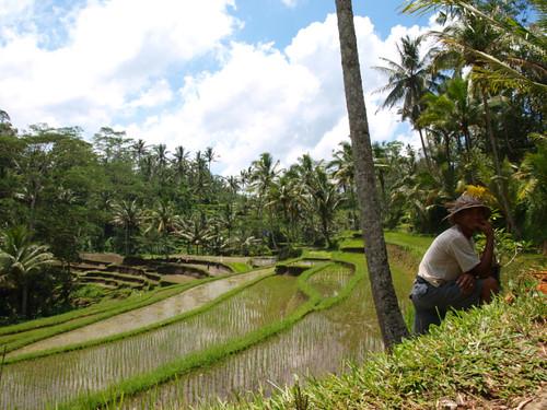 Бали,  рисовые террасы
