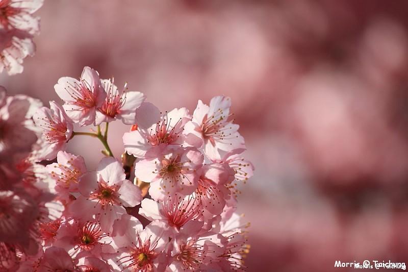 2012 武陵櫻花季 (56)