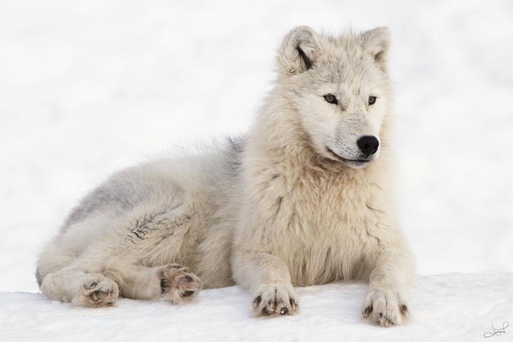 Arctic Wolf Flickr Photo Sharing