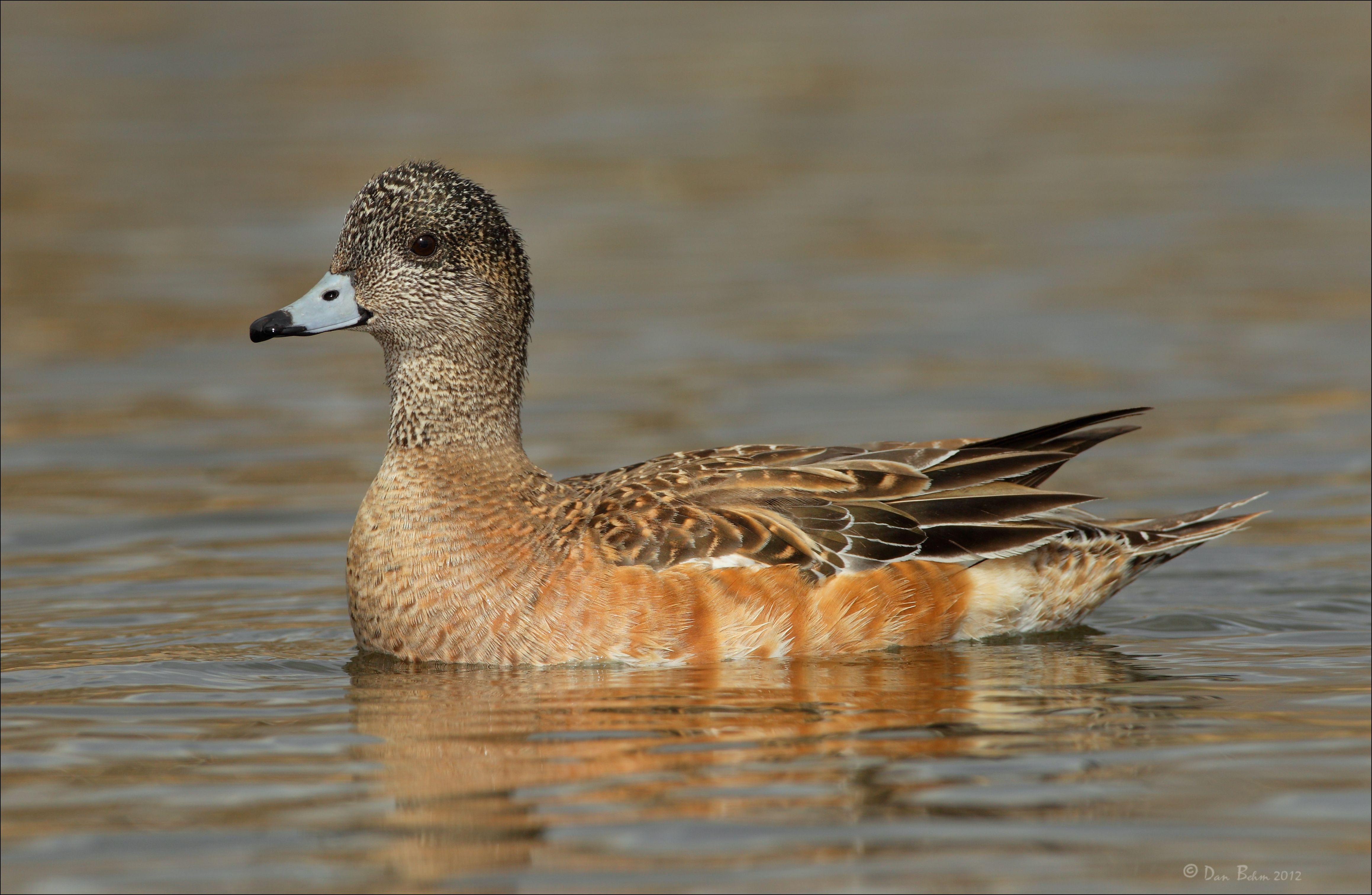Wigeon duck hen - photo#8