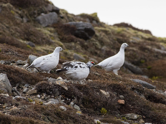ptarmigian group