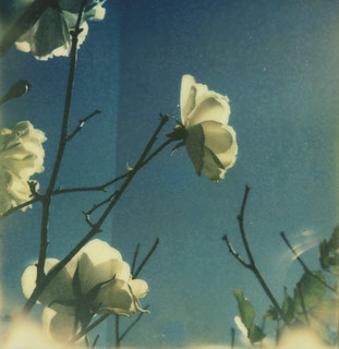 White roses on blue
