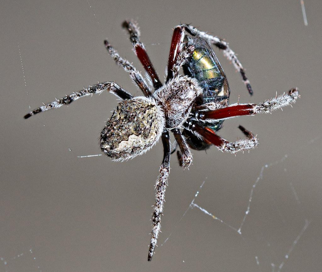Murder In The Garden 3 This Is A Garden Orb Web Spider Flickr