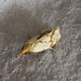 Small photo of Agapeta hamana. Tortricidae