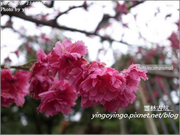 雲林古坑_古坑櫻花20120226_R0060017
