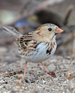 Harris's Sparrow (1st year)